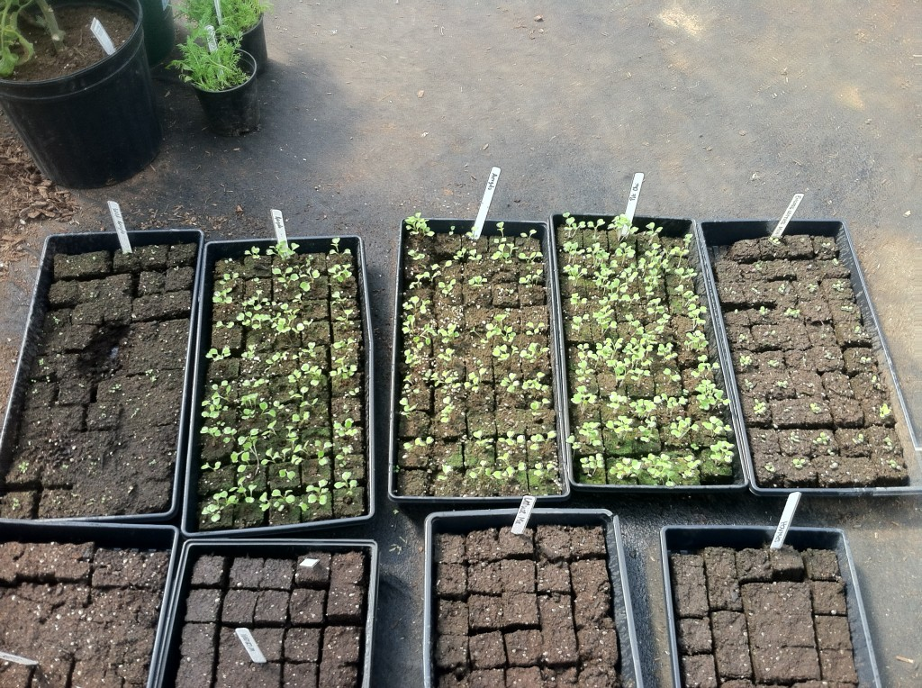 The green is all arugula and mixed lettuce that had been started earlier in the week. The bare soil blocks are borage, nasturtium, marigold, and beets that we started yesterday. Borage, nasturtium and marigold are all edible flowers and they also help to prevent pests.