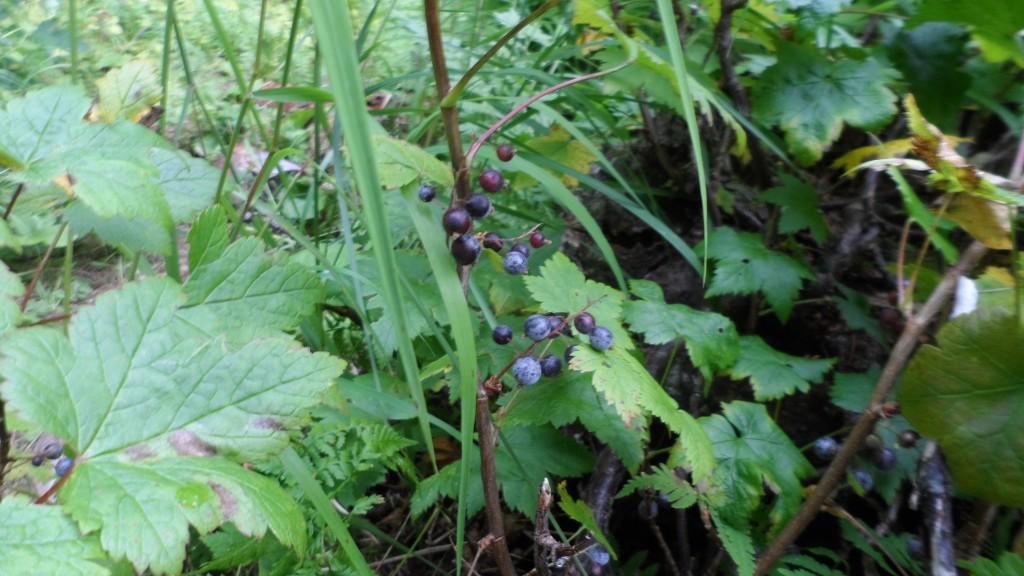 china poot - blueberries