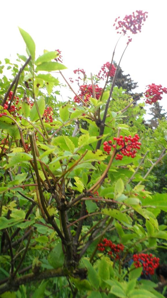 china poot - soap berries