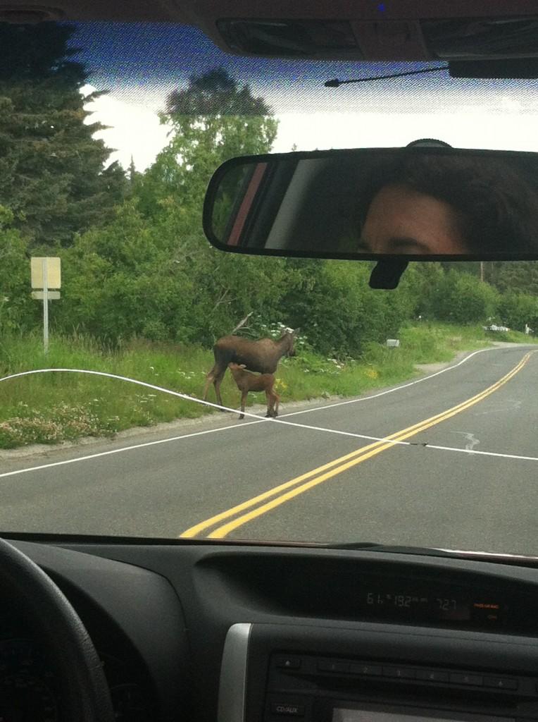 moose and calf nursing casual